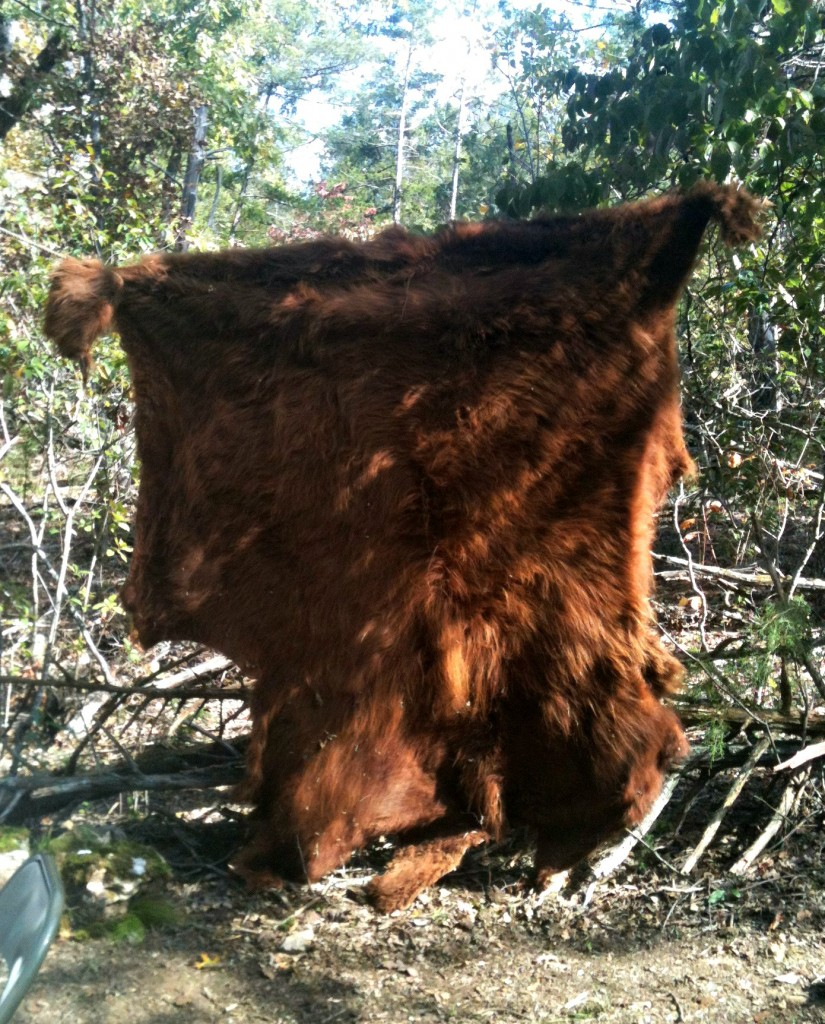 The hide of the Highland Cow that we butchered! Pretty awesome, huh?