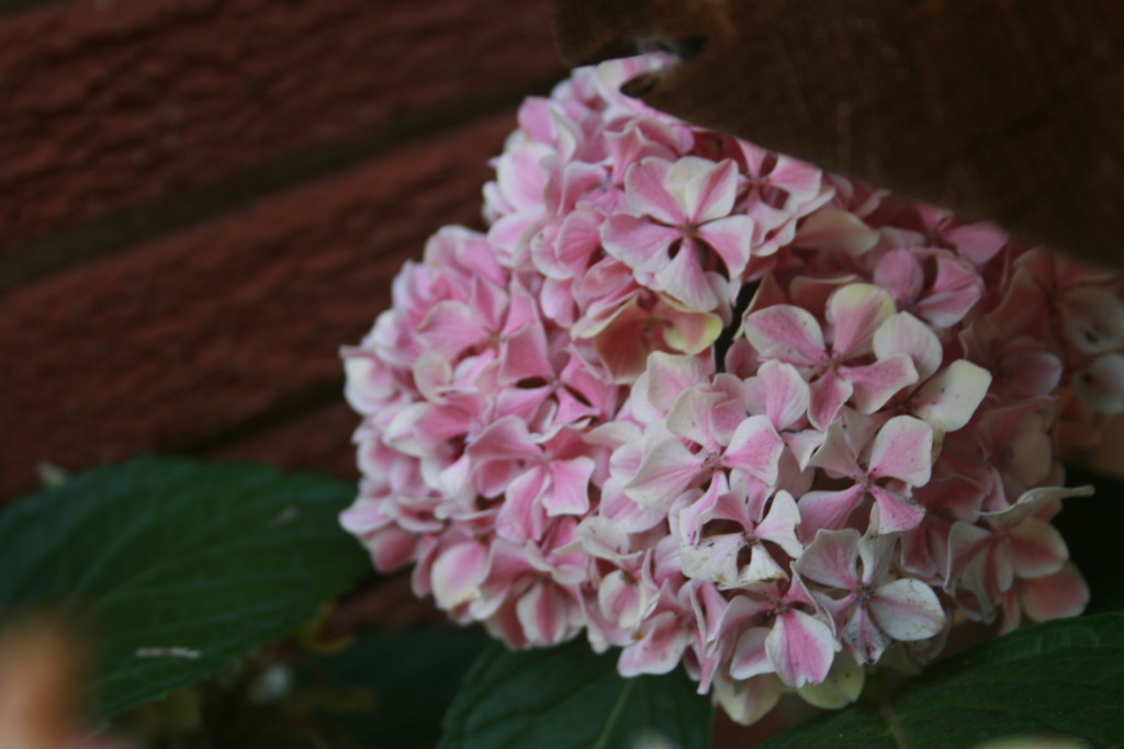 Hydrangeas are one of nature's sweetest gifts.