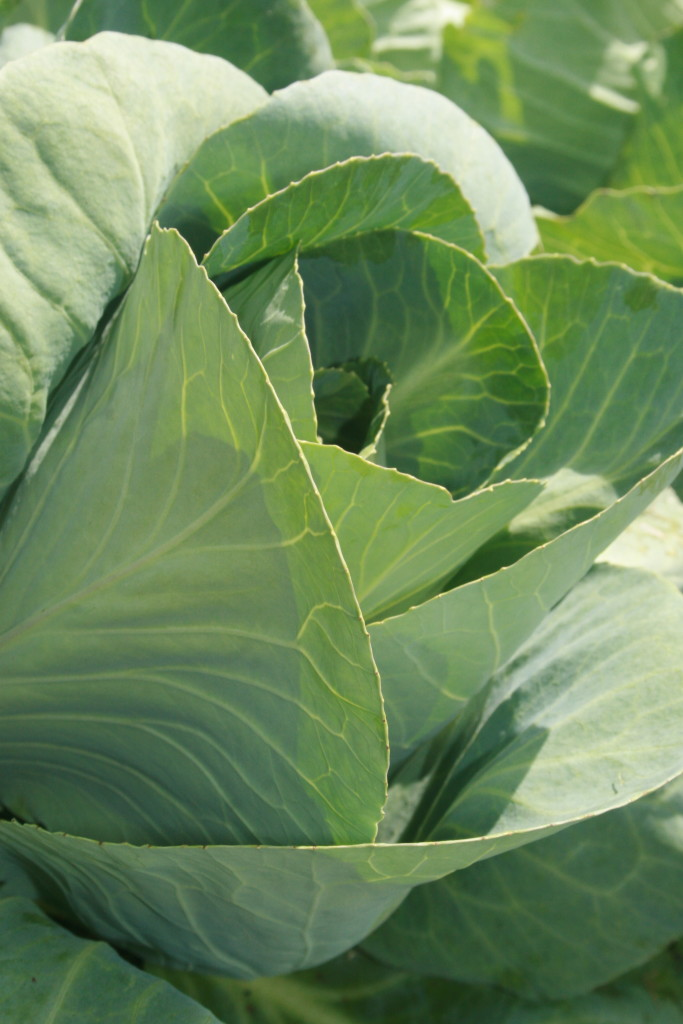 Cabbage: Reminds me of Mr McGregors garden.